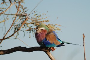 Lilac Crested Roller taken at dawn in the Kruger Park, South Africa